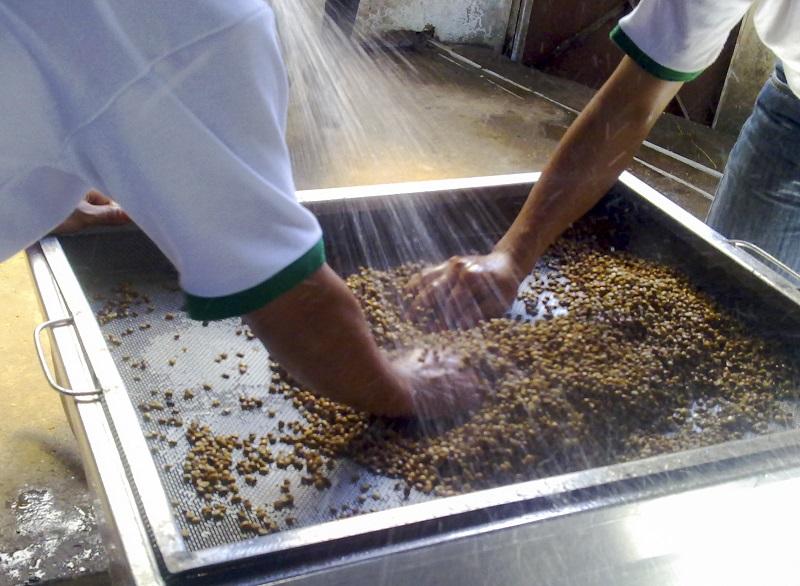 Rửa và làm sạch hạt cà phê Chồn