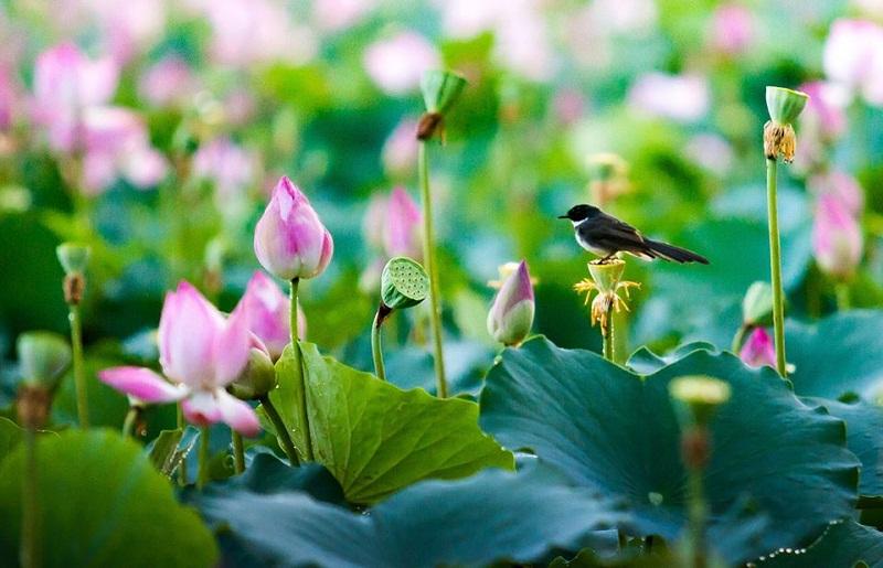 Trà lá sen nguyên chất – Vị trà thiên nhiên, tốt cho sức khỏe